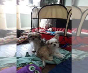 Mi-Ki Puppy for sale in STREAMWOOD, IL, USA
