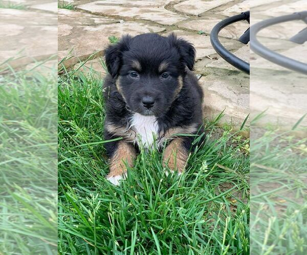 Medium Photo #9 Australian Shepherd Puppy For Sale in CARMEL, IN, USA