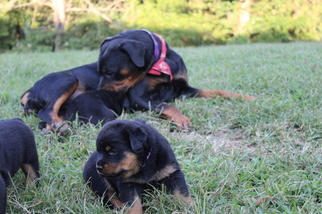 Rottweiler Puppy For Sale in PRIMM SPRINGS, TN, USA
