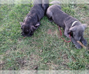 Cane Corso Puppy for Sale in SPRINGFIELD, Missouri USA