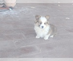 Puppy 1 Pembroke Welsh Corgi