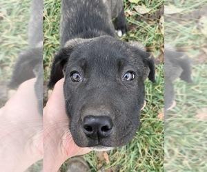 Anatolian Shepherd Puppy for sale in CHINA, MI, USA