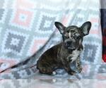 Small #2 Faux Frenchbo Bulldog
