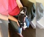 Small #2 Beagle