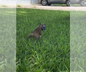 Boston Terrier Puppy for sale in ABILENE, TX, USA