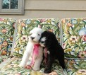 Sheepadoodle Puppy For Sale in WYNNE, Arkansas,