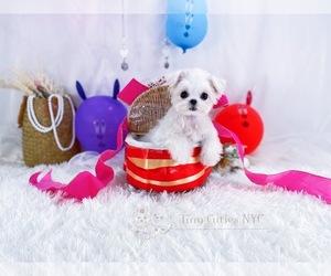 Maltese Puppy for sale in ASTORIA, NY, USA