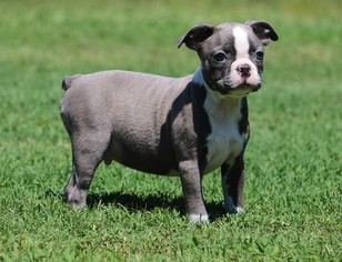View Ad: Boston Terrier Puppy for Sale near Maryland