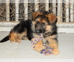 Small #12 German Shepherd Dog