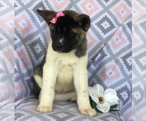 Akita Puppy for sale in EAST EARL, PA, USA