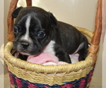 Small Boston Terrier