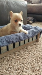 Pembroke Welsh Corgi Puppy For Sale in WINCHESTER, OH, USA
