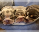 Small Photo #1 English Bulldog Puppy For Sale in DAYTON, OH, USA