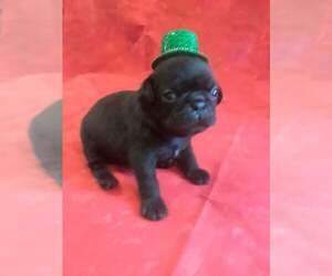 Pug Puppy for sale in SIDNEY, OH, USA