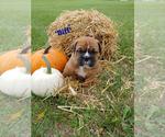 Puppy 4 Bulldog-Bulloxer Mix