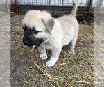 Puppy 3 Anatolian Shepherd-Great Pyrenees Mix