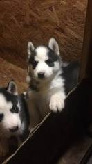 Siberian Husky Puppy For Sale in SEYMOUR, IN