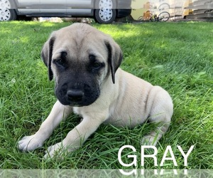 Mastiff Puppy for Sale in WATERVILLE, Minnesota USA