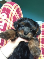 Yorkshire Terrier Puppy For Sale in LANDENBERG, PA