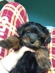 Yorkshire Terrier Puppy For Sale in LANDENBERG, PA, USA