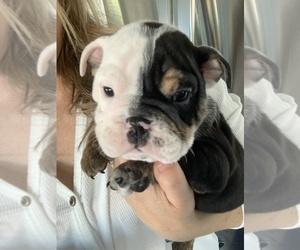 English Bulldog Puppy for Sale in MURRIETA, California USA