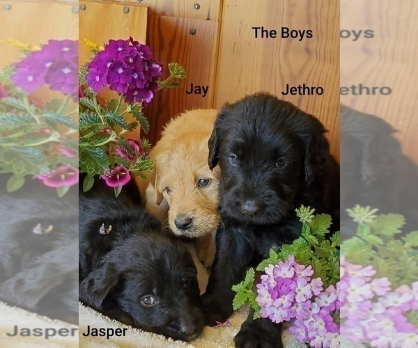 View Ad: Labradoodle Litter of Puppies for Sale near In Greece