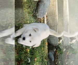 Akita-Labrador Retriever Mix Puppy for sale in SHILOH, OH, USA