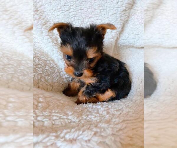 Medium Photo #8 Yorkshire Terrier Puppy For Sale in KLEIN, TX, USA