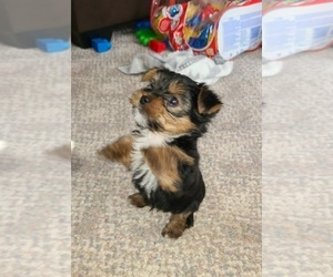 Yorkshire Terrier Puppy for sale in STACY, MN, USA
