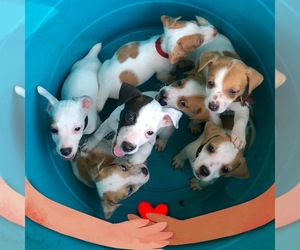 Jack Russell Terrier Puppy for sale in RITTER, SC, USA