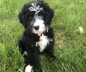 Miniature Bernedoodle Puppy for sale in CHICAGO, IL, USA