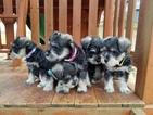 Schnauzer (Miniature) Puppy For Sale in ANNISTON, AL, USA