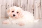 Biton Puppy For Sale in MOUNT VERNON, OH, USA