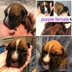 Boxer Puppies For Sale VIRGINIA