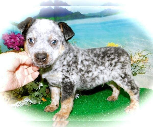 Medium Photo #5 Australian Cattle Dog Puppy For Sale in HAMMOND, IN, USA