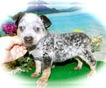 Small Photo #5 Australian Cattle Dog Puppy For Sale in HAMMOND, IN, USA