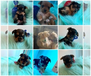 Yorkshire Terrier Puppy for sale in HOPE MILLS, NC, USA