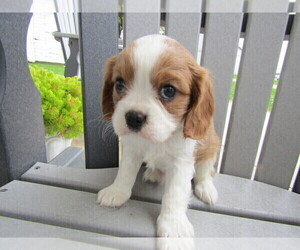 Cavalier King Charles Spaniel Dog for Adoption in EAST GRAND RAPIDS, Michigan USA