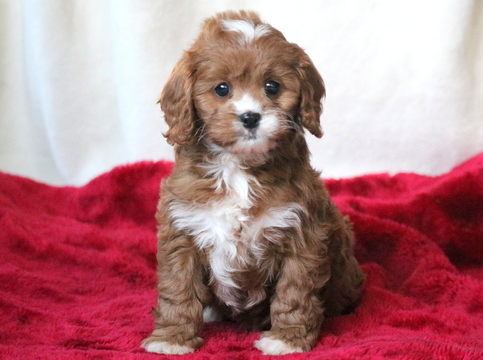 Cavapoo Dogs For Sale In Ireland