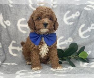 Cavapoo-Poodle (Miniature) Mix Dog for Adoption in CEDAR LANE, Pennsylvania USA