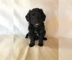 Puppy 1 Australian Shepherd-Poodle (Miniature) Mix