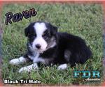 Raven Toy or Small Mini Black Tri Male Aussie