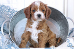 Cavapoo Puppy For Sale in EPHRATA, PA, USA