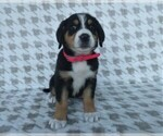 Puppy 5 Greater Swiss Mountain Dog