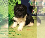Havanese Puppy For Sale near 38870, Smithville, MS, USA