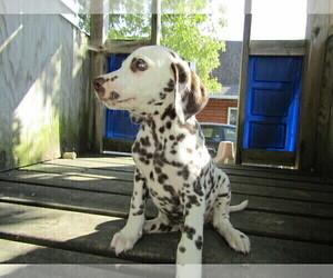 Dalmatian Puppy for sale in CHICAGO, IL, USA