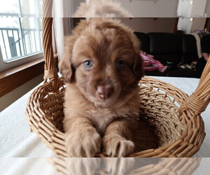 Aussie-Poo Puppy for sale in INDIANAPOLIS, IN, USA