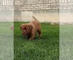 Small #2 Dogue de Bordeaux
