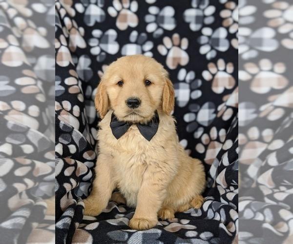 Medium Photo #3 Golden Retriever Puppy For Sale in OXFORD, PA, USA