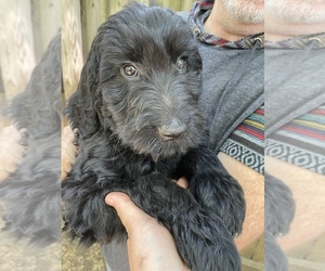 Goldendoodle Puppy for sale in WAKE FOREST, NC, USA